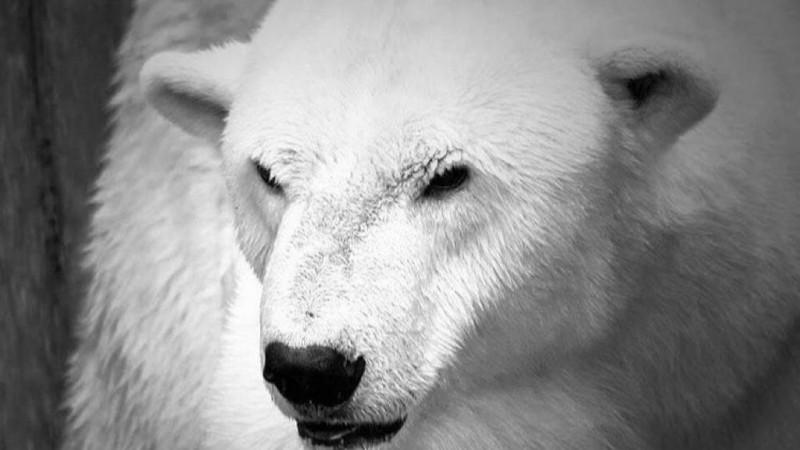 Белого медведя Алькора усыпили в зоопарке Алматы